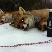 Appeau appeaux nordik predator chasse chasseur