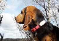 Collier de repe rage pas cher weenect chien de chasse